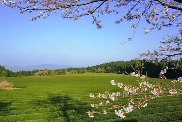 Shincha-Asanoka