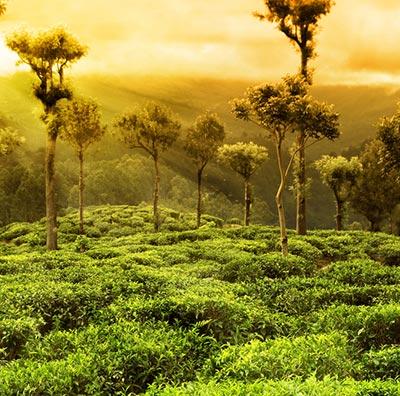 Tee aus Assam