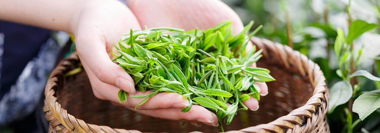 kobu-start-Banner-fresh-green-tea