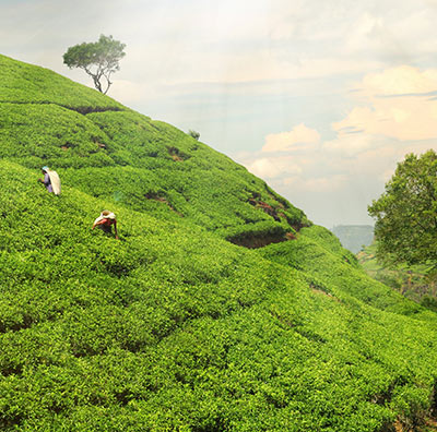 Wissenswertes über Tee aus Darjeeling
